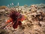 Podvodní svět Rudého moře - Perutýn