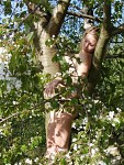 Třešněnka