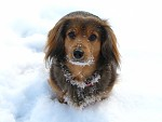 Zimní pes