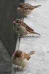 Mezi vrabci