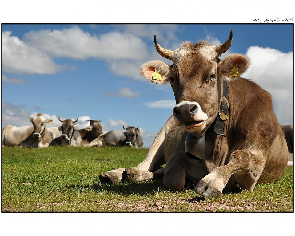Kráva v totální pohodě :)