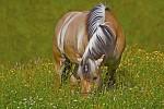 Kůň na pastvě