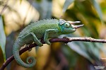 Chameleon Rohatý