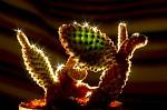 Osvěžený kaktus