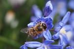 Jaro - ladoňka velkokvětá a včela