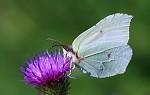 Motýlovka