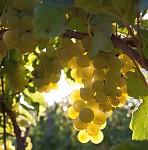 Slunce ve vinohradě