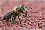 Včela - čištění jazyka