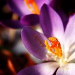 Detail květu krokusu