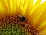 Čmelda na slunečnici