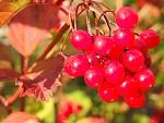 Podzimní plody v červeném