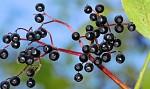 Podzimní plody - černý bez