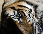 Tygří pohled
