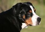 Buddy - velký švýcarský Salašnický pes
