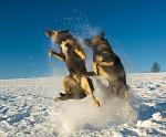 Tanec s vlky II