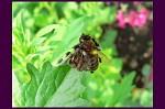 Chudák včelička