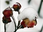 ... V Zajetí Ledu ... Růže