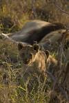 Lvíče s otcem