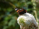 Mothylus Springhus