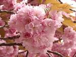 Ružové bambuľky