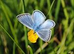 Motýl modrásek
