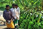 Sber bananu v Indii