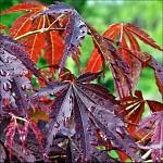 Listy javoru