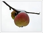 Zimní jablka