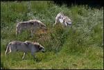 Vlci šedí