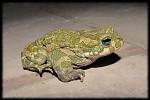 Žabák