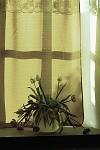 na okně za záclonou