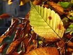 Habrový list v pozdněodpoledním slunci