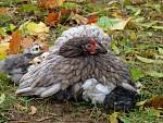 Podzimní kuřata