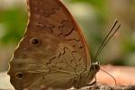 Motýl s drobečkem na tykadle