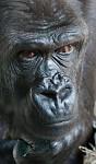 Gorilí rozjímání