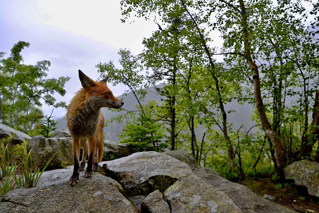 V Tatrách kde dávají lišky dobrou noc