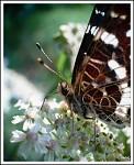 Mlsání motýlí