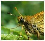 Motýlek-detail