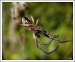 Pavouček