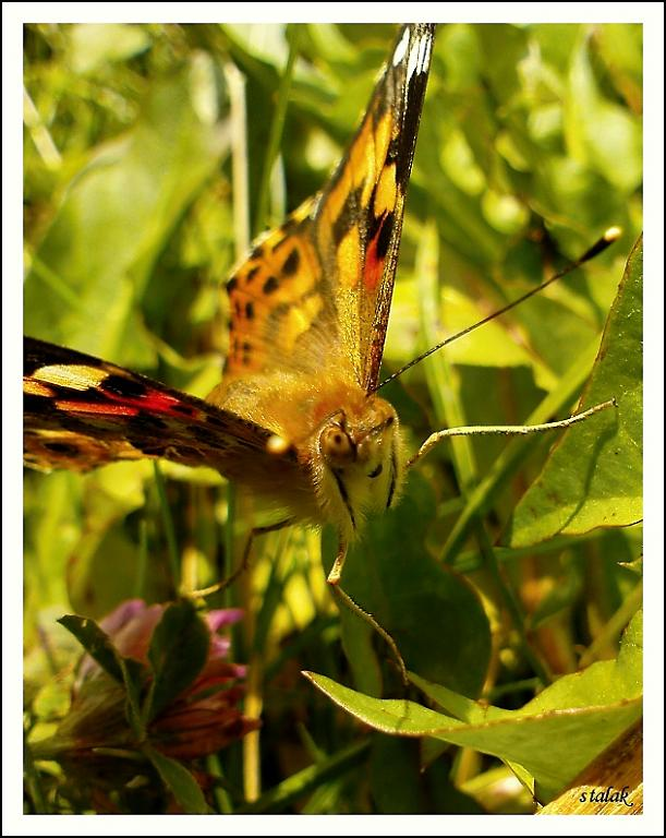 Vysmátý motýl