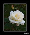 Poslední růže letošního podzimu