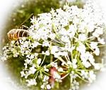 Včela sa pasie