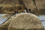 Tučňák severní