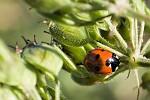 Ladybug and little spy