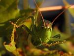 Kobylka při večeři