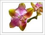 orchidej - Phalaenopsis