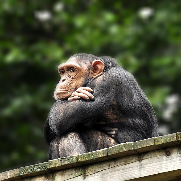 Opičí rozjímání