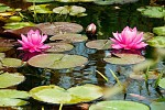 Vodní květy
