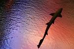 Takový menší žralok