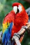 Papoušek Ara -   Zobrazení: 26572